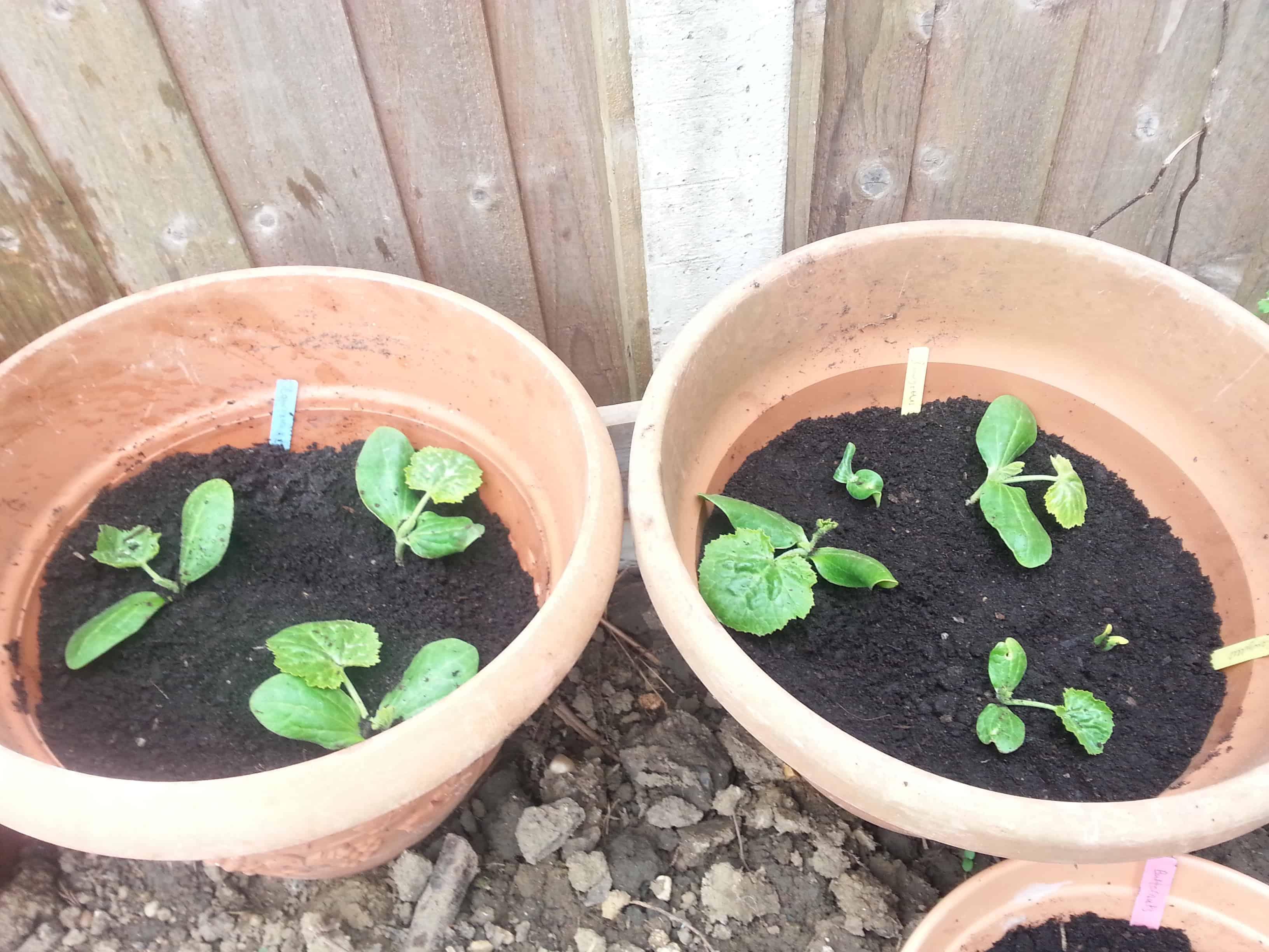My Mini Kitchen Garden Update – A Month On